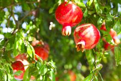 Branches of pomegranate tree punica granatum full of ripe frui. Ts in a sunny day. Blue sky in background Royalty Free Stock Image