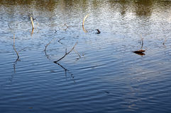 Branches in pond. Old branches drowned in a pond royalty free stock image
