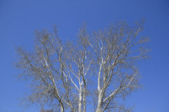 The branches of the poplar against the blue sky. Spring view of a silver poplar Stock Image