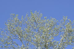 The branches of the poplar against the blue sky. Spring view of a silver poplar Stock Photo