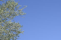 The branches of the poplar against the blue sky. Spring view of a silver poplar Stock Photos