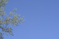 The branches of the poplar against the blue sky. Spring view of a silver poplar Stock Images