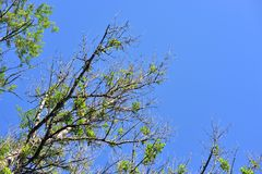 Branches of poplar trees at summer day. Branches of poplar trees at summer sunny day on blue sky background Stock Photo