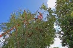 Branches prunning de trimmer d'arbre hautes dans un arbre d'orme chinois Photographie stock