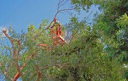 Branches prunning de trimmer d'arbre hautes dans un arbre d'orme chinois Photos libres de droits