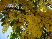 Branches of purging cassia - Yellow flowers. Canafistula, Cassia, cassie, crown of gold tree, golden rain tree, golden shower tree, Indian laburnum, kasia sena stock photos