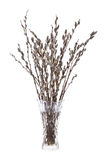 Branches of the willow. With flowering bud in vase with water on white background Stock Photos