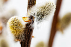 Branches of the pussy willow with flowering bud . Stock Photos