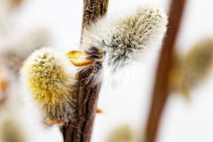 Branches of the pussy willow with flowering bud . Stock Photography