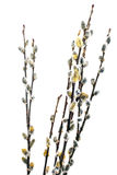 Branches of the pussy willow with flowering bud.Isolated. Stock Photo
