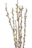 Branches of the pussy willow with flowering bud.Isolated. Royalty Free Stock Image