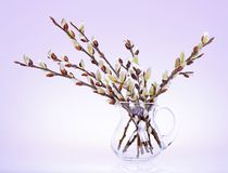 Branches of the willow with flowering bud royalty free stock photography