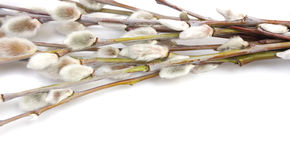 Branches of the pussy willow Stock Images