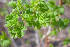 Branches of raspberry without berries. royalty free stock photos