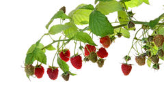 The branches of a raspberry isolated on white. Background Royalty Free Stock Images