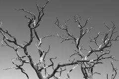 Branches reach skyward Royalty Free Stock Image