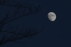 Branches reaching to the full moon Stock Image