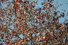 Abstrac branches and red leaves on a blue background sky. Branches and red autumn leaves on a clear blue sky day Stock Image