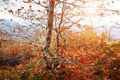 Branches of red beerch trees in autumn forest. Stock Photos