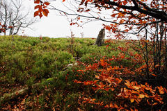 Branches of red beerch trees in autumn forest. Royalty Free Stock Images