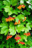 Branches of red berries of a Guelder rose or Viburnum opulus shr Royalty Free Stock Photos
