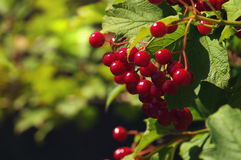 Branches of red berries of a Guelder rose or Viburnum opulus shrub Stock Photos