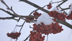 Branches of red bright rowan covered with snow. stock video footage
