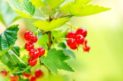 Branches of red currant on a bush. Organic and fresh berries. Raw and fresh fruit. Concept of healthy food with lots of antioxidan Royalty Free Stock Photos