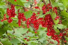 Branches of red currants in the garden. Branches of red ripe currants in the garden Stock Photography