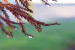 Branches of Red Fir Tree with Water Drops Royalty Free Stock Photography