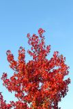 Branches and red leaves in a blue sky in autumn Royalty Free Stock Image