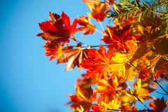 Branches of red maple Royalty Free Stock Photo