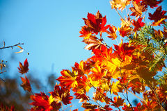 Branches of red maple Stock Photography