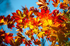 Branches of red maple Stock Images