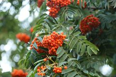 Branches of red mountain ash royalty free stock photos
