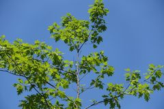 Branches of red oak against blue sky in summer. Branches of young red oak against blue sky in summer royalty free stock photography
