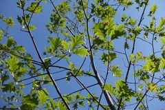 Branches of red oak with green leafage. Branches of red oak with fresh leafage Royalty Free Stock Photo