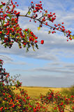 Branches with red ripe berries of hawthorn. Stock Photography