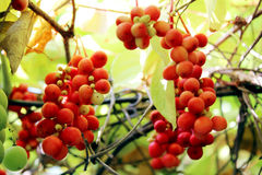 Branches of red ripe schisandra Stock Image