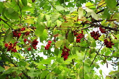 Branches of red ripe schisandra Stock Photography