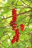 Branches of red schisandra. Schizandra chinensis plant with fruits on branch Stock Photography