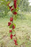 Branches of red schisandra. Schizandra chinensis plant with fruits on branch Stock Image