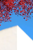 Branches of a red tree with deep blue sunny sky. Colourful red branches against a bright blue sunny sky with modern white angled building Stock Photos