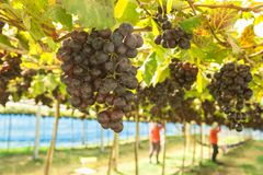 Branches of red wine grapes growing in fields. Close up fresh red wine grape royalty free stock photos