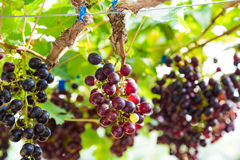 Branches of red wine grapes growing in organic farm Stock Photography
