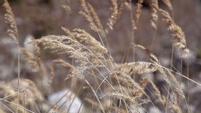 Branches of Reeds in the Wind stock video footage