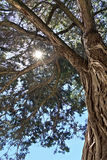 Branches of the relic juniper royalty free stock image