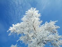 Branches of Rimed Tree Royalty Free Stock Images
