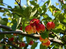 Ripe apples Royalty Free Stock Images