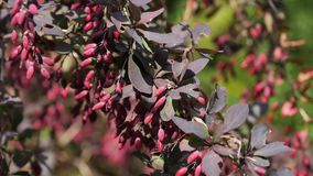 Branches with ripe berries of barberry Berberis vulgaris stock footage